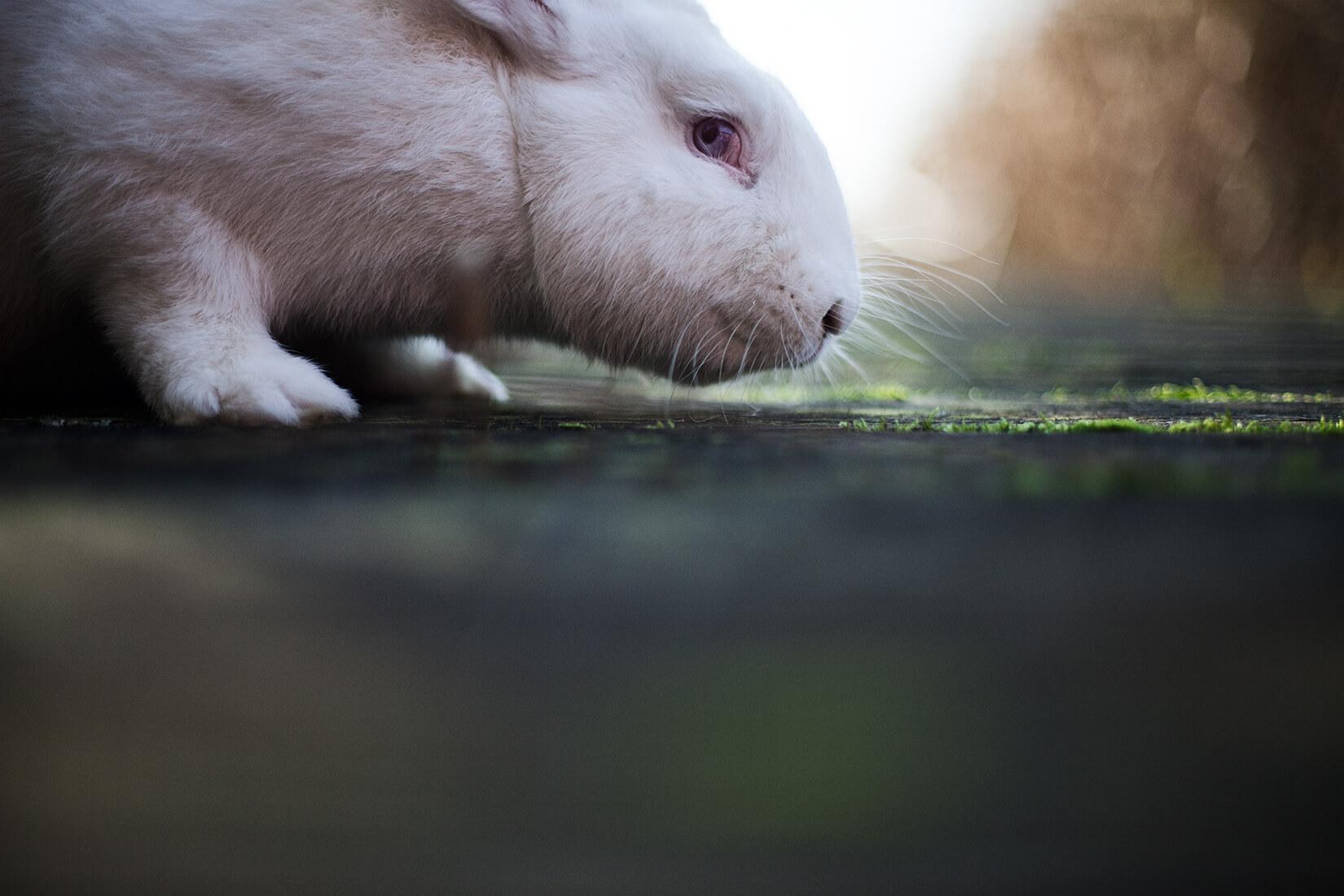 photography portrait project study rabbit albino